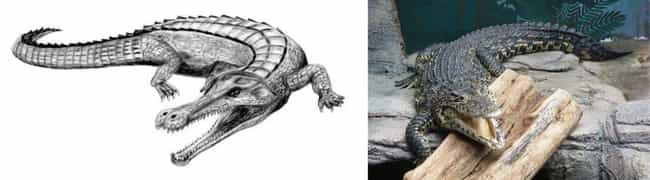 Crocodile is listed (or ranked) 4 on the list Modern Animals And Their Prehistoric Counterparts