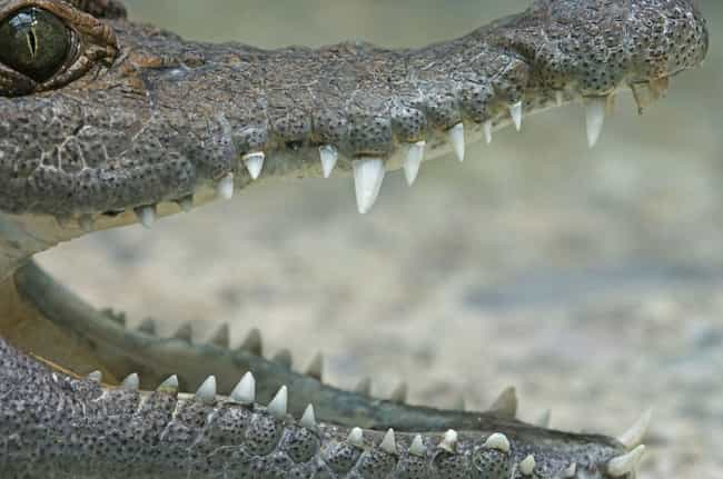 Crocodile is listed (or ranked) 1 on the list 12 Even Scarier Facts About The Most Terrifying Animals In The World