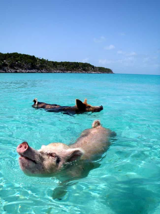 Pig Beach is listed (or ranked) 1 on the list The Best Vacation Spots for Animal Lovers