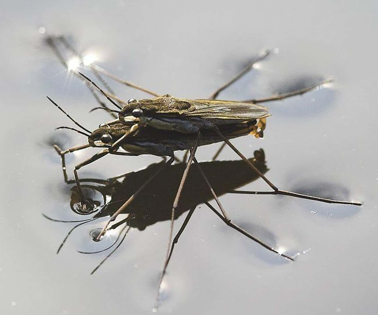 Male Water Striders Blackmail  is listed (or ranked) 2 on the list 10 Animals That Manipulate Their Partners Into Mating with Them