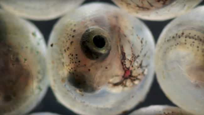 Gulf killifish is listed (or ranked) 2 on the list 18 Seriously Weird Sea Creature Eggs That'll Change How You See The Ocean