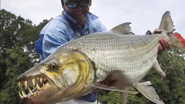 Tigerfish is listed (or ranked) 3 on the list The Scariest Types of Fish in the World