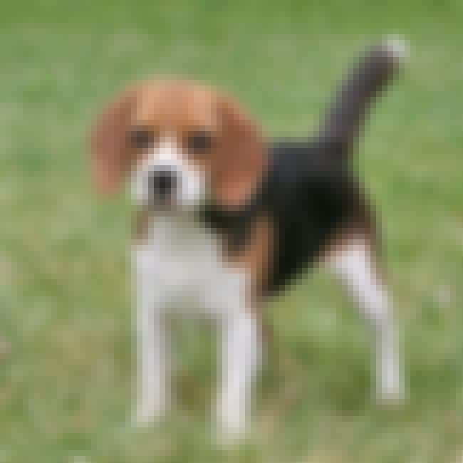 Pocket Beagle is listed (or ranked) 3 on the list 10 Curious Dog Breeds That Make Great Pets