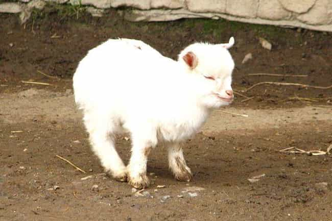 Pygmy goat is listed (or ranked) 4 on the list Pygmy And Dwarf Animals That Are So Cute It Hurts