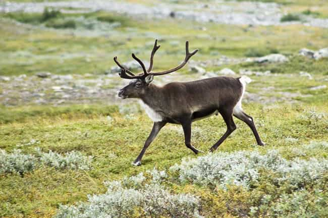 Caribou is listed (or ranked) 11 on the list 14 Of The Most Well-Traveled Creatures On The Planet