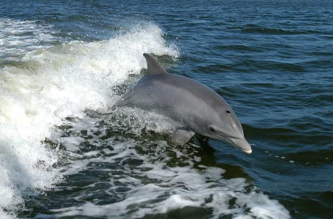 Dolphins is listed (or ranked) 1 on the list Animal Facts That Sound Fake, But Are 100% Legit