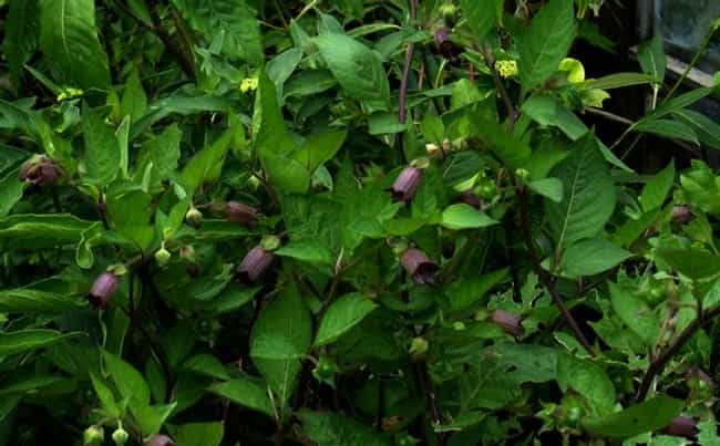 Nightshade Poisoning is listed (or ranked) 3 on the list How To: Poisoning | Worlds Most Poisonous Plants