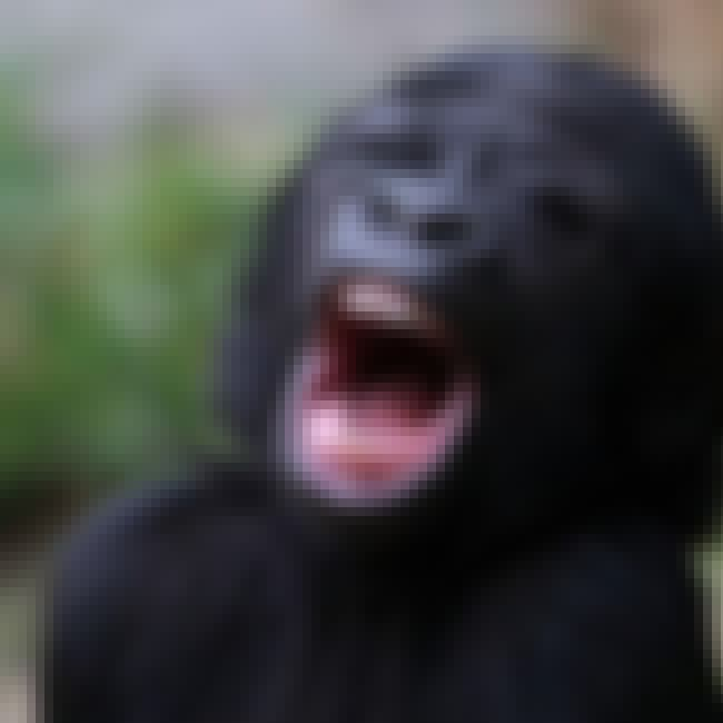 YET ANOTHER GORILLA BABBIE is listed (or ranked) 8 on the list 8 Big Bad Babies Bearing Beastly Teeth