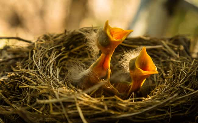Baby Birds Will Be Rejected By... is listed (or ranked) 1 on the list 16 Untrue Myths About Animals