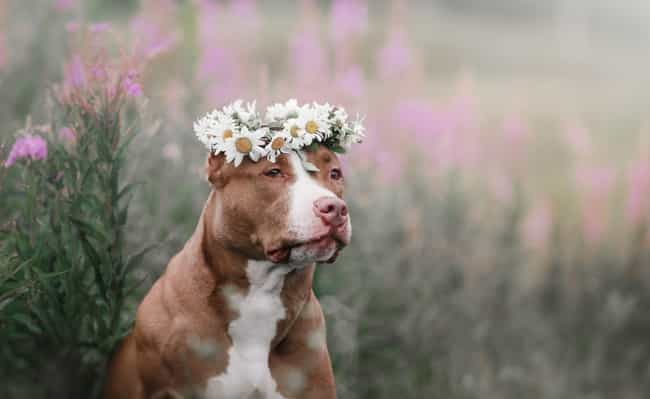 Pit Bulls Are A Dangerous And ... is listed (or ranked) 4 on the list 16 Untrue Myths About Animals