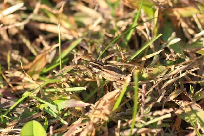 Dry Grass is listed (or ranked) 3 on the list 10 Amazing Insects and Spiders With Extraordinary Camouflage Abilities