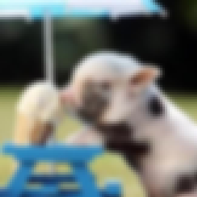 Mini Pigs is listed (or ranked) 1 on the list Cute Teacup Pig Videos