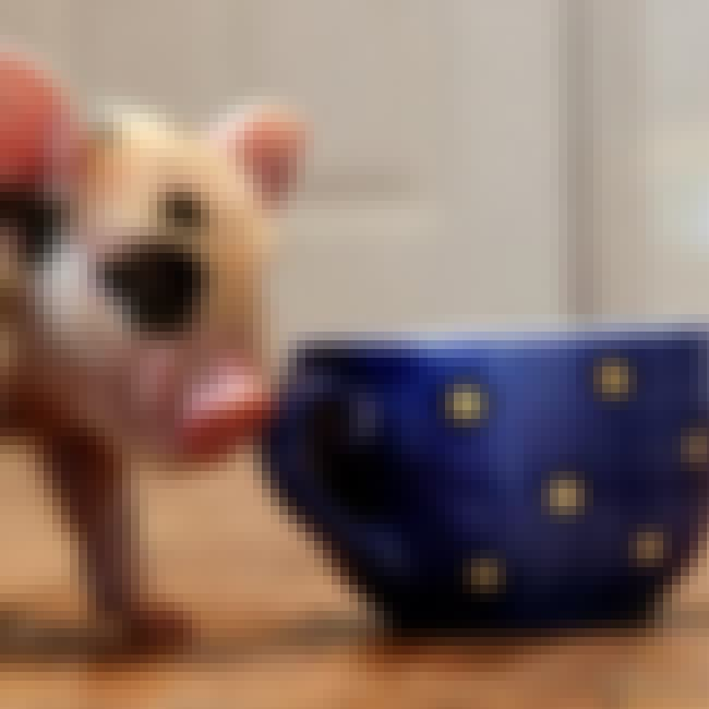 Micro Pigs is listed (or ranked) 4 on the list Cute Teacup Pig Videos