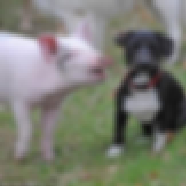 Piggy Thinks He Is A Puppy is listed (or ranked) 4 on the list Cute Teacup Pig Videos