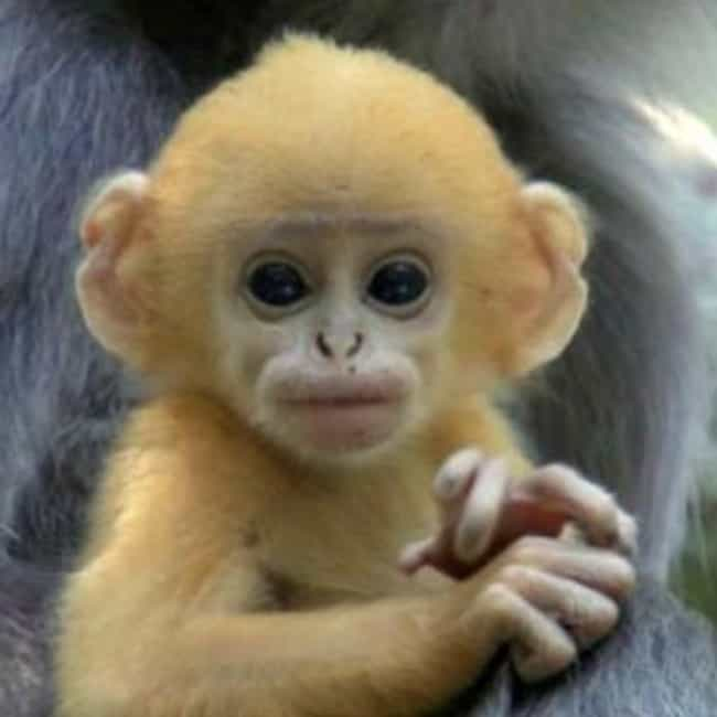 7 intolerably cute baby monkey videos thats a cutie baby leaf monkey voltagebd Choice Image