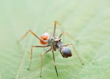 Myrmarachne Assimilis is listed (or ranked) 1 on the list The Top 10 Most Amazing Ant-Mimics