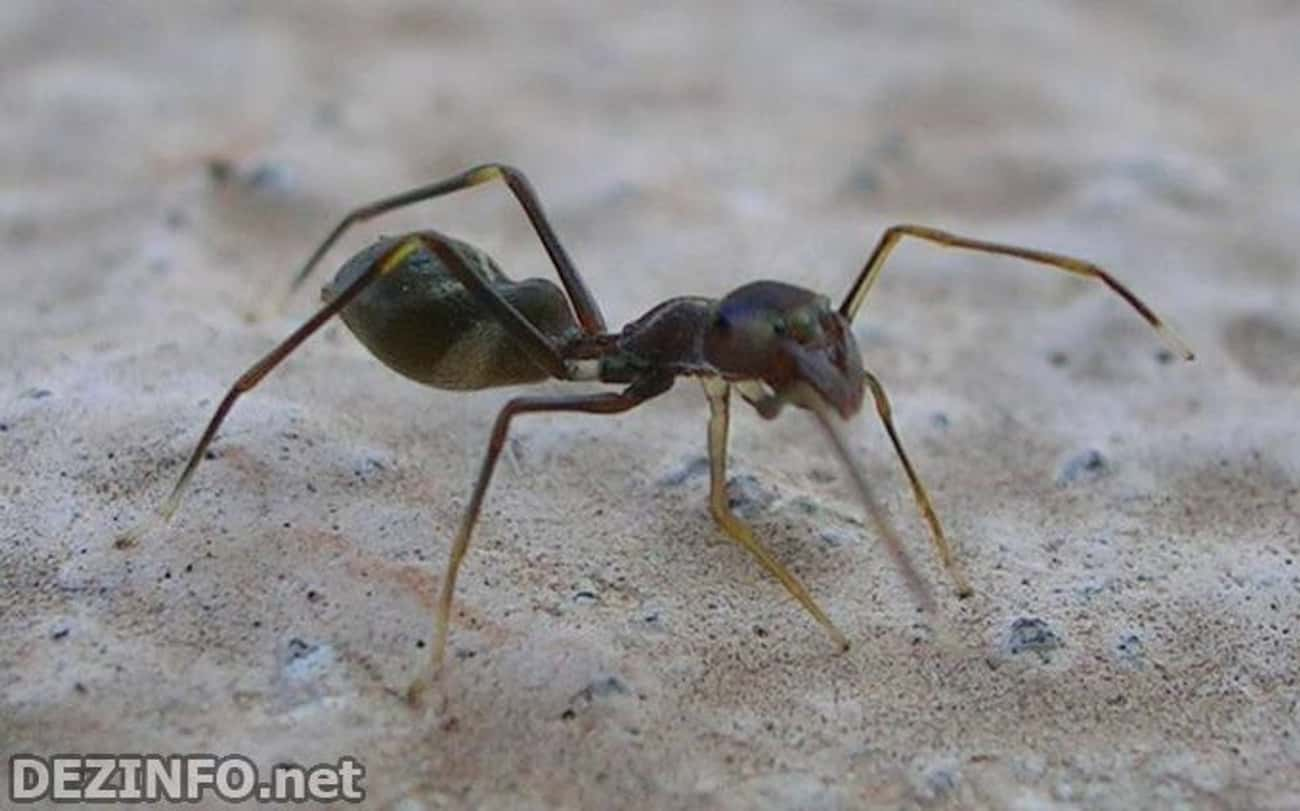 Myrmarachne melanotarsa is listed (or ranked) 2 on the list The Top 10 Most Amazing Ant-Mimics