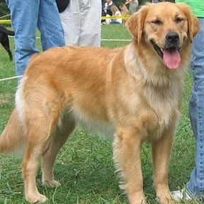 Golden Retriever is listed (or ranked) 2 on the list The Best Dog Breeds for Families