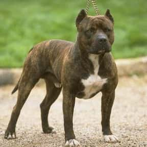 Pit Bull Terrier is listed (or ranked) 11 on the list The Best Dog Breeds for Families