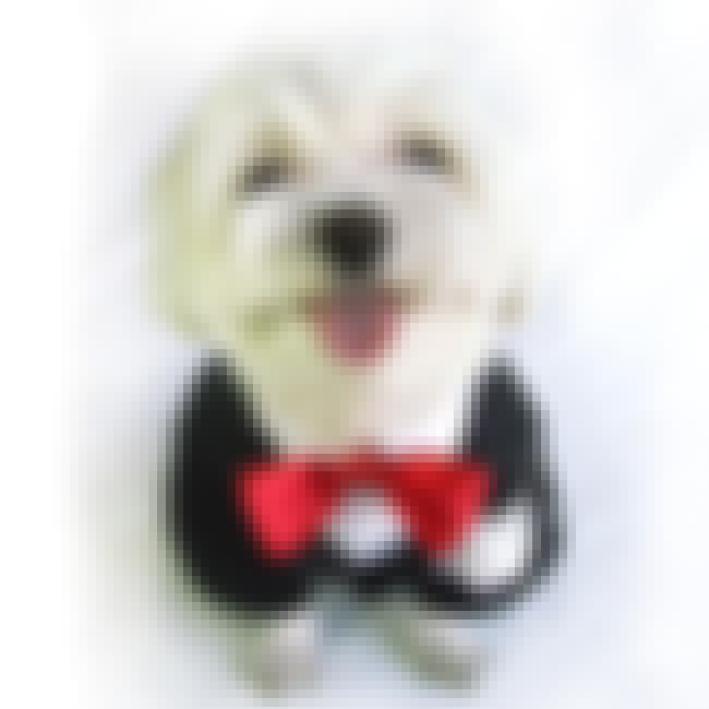 Dog Tuxedo is listed (or ranked) 6 on the list The Cutest Dog Accessories on the Internet