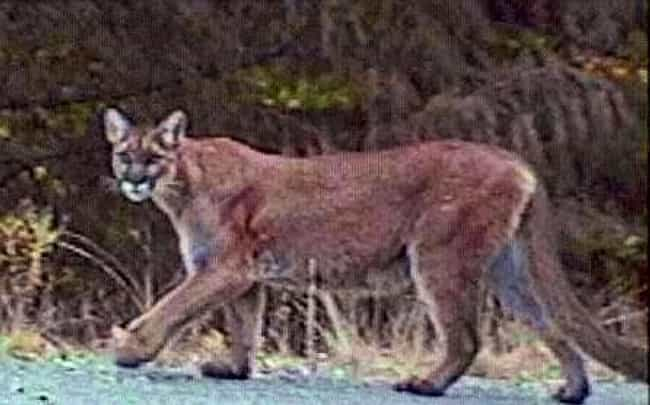 Mountain Lions is listed (or ranked) 1 on the list Tips For Encountering 5 Dangerous Animals