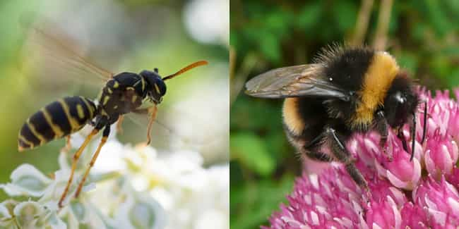 Skinny & Shiny vs. F... is listed (or ranked) 2 on the list 10 Amazing Facts About Bees & Wasps