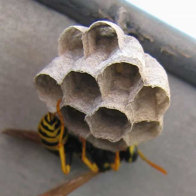 Cribs: Paper or Wax or Resin? is listed (or ranked) 4 on the list 10 Amazing Facts About Bees & Wasps