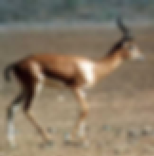 Arabian Gazelle is listed (or ranked) 1 on the list Extinct Mammals
