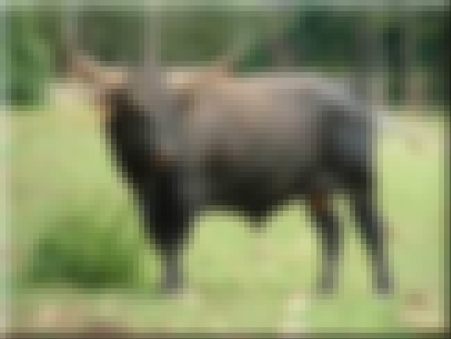 Aurochs is listed (or ranked) 2 on the list Extinct Mammals
