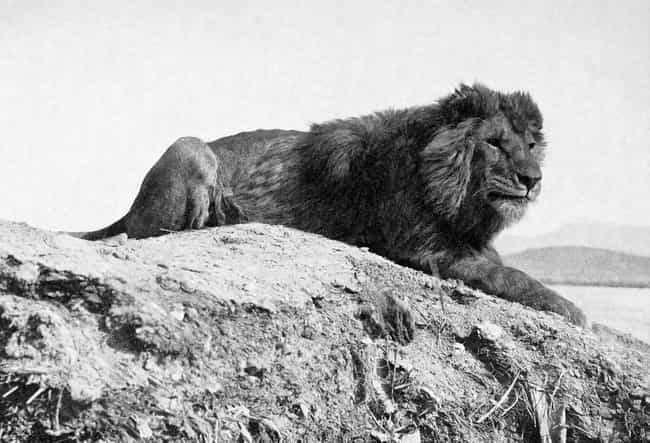 Barbary Lion is listed (or ranked) 3 on the list Extinct Mammals