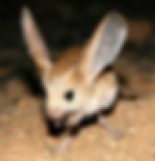 Big-eared Hopping Mouse is listed (or ranked) 7 on the list Extinct Mammals