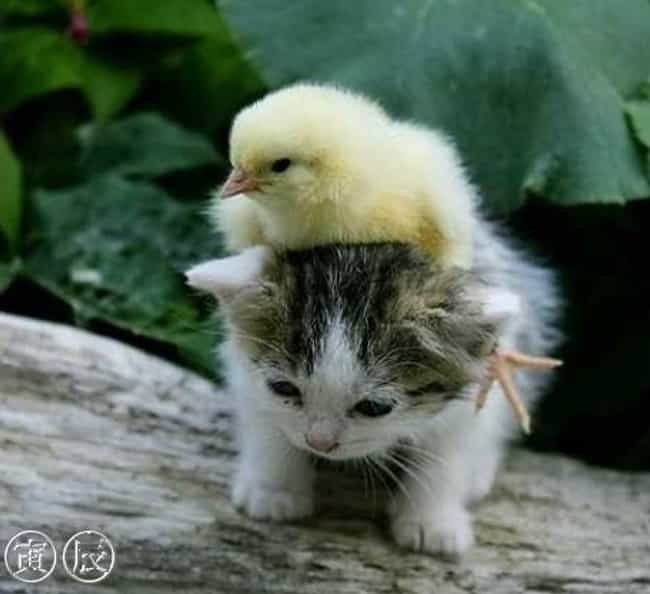 A Chick Riding a Kitten ... is listed (or ranked) 2 on the list The 20 Greatest Pictures of Animals Riding Other Animals