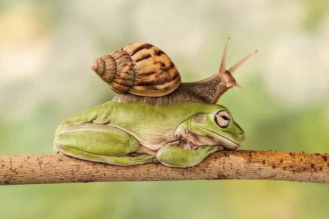 A Snail Rides a Frog is listed (or ranked) 4 on the list The 20 Greatest Pictures of Animals Riding Other Animals