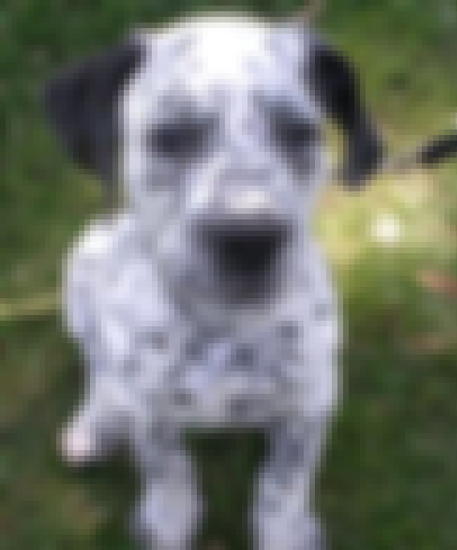 Corgi Dalmatian Hybrid is listed (or ranked) 4 on the list The Cutest Mixed Dog Breeds