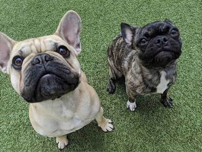 Frug is listed (or ranked) 8 on the list The Cutest Mixed Dog Breeds