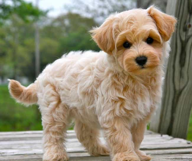 Cute Dog Mixes List Of Cute Mixed Hybrid Breed Dogs Page 2