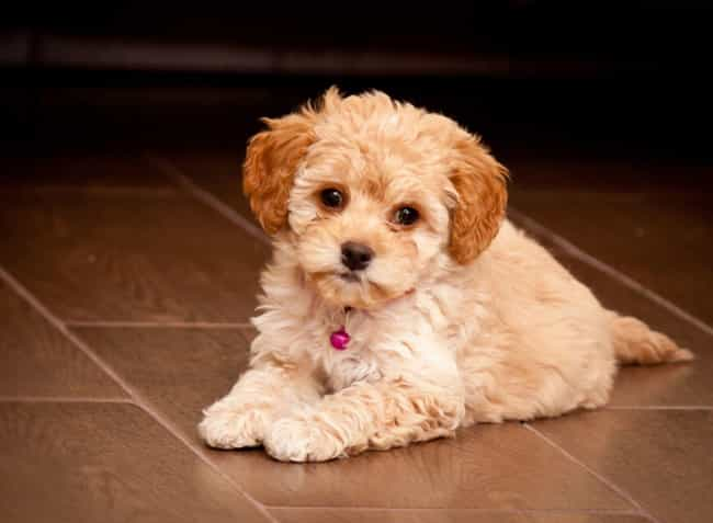 Maltipoo is listed (or ranked) 4 on the list The Cutest Mixed Dog Breeds