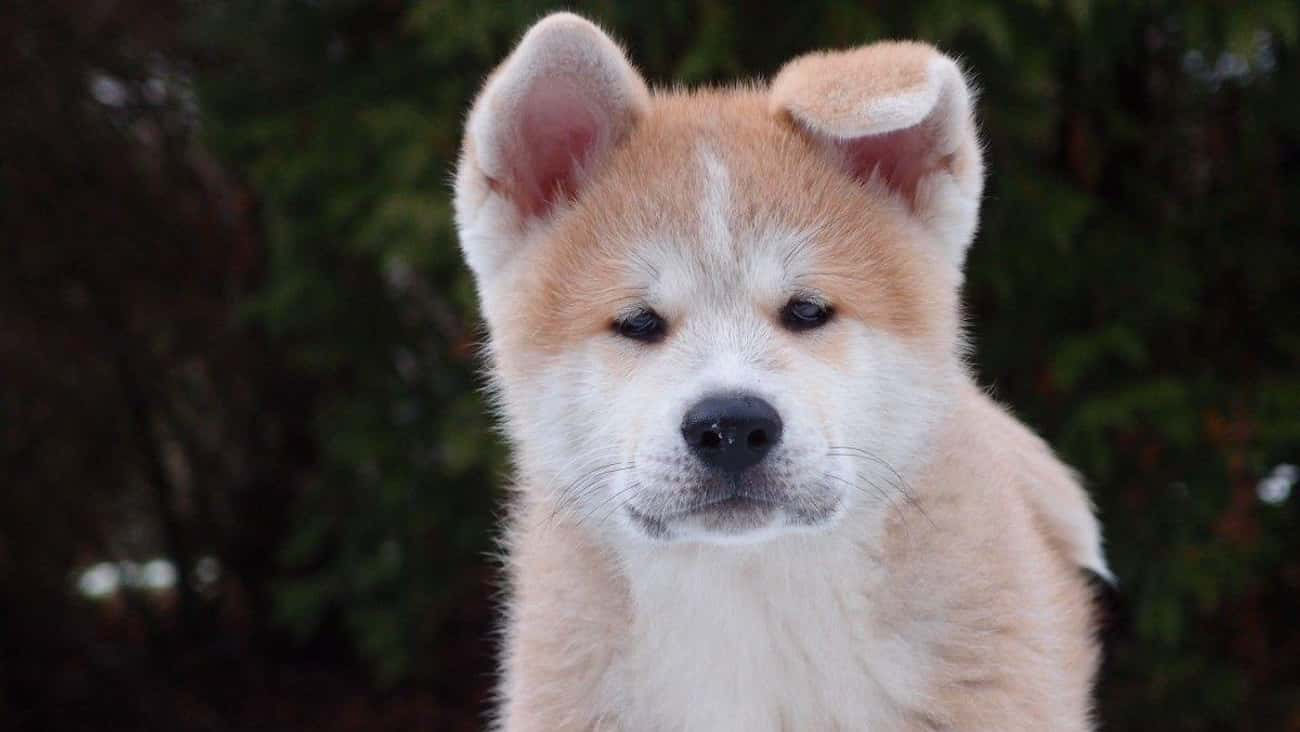 Wolfdogs is listed (or ranked) 1 on the list The Cutest Mixed Dog Breeds