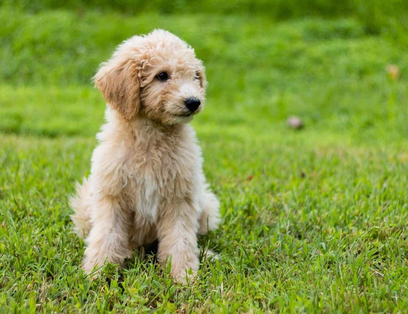 Doodles is listed (or ranked) 4 on the list The Cutest Mixed Dog Breeds