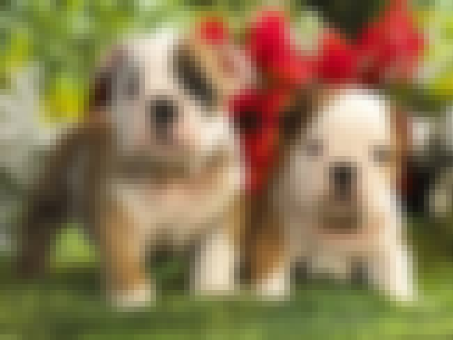 EngAm Bulldog is listed (or ranked) 4 on the list The Cutest Mixed Dog Breeds