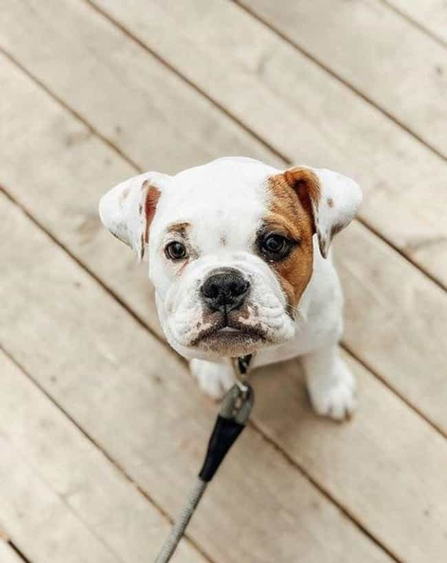 EngAm Bulldog is listed (or ranked) 3 on the list The Cutest Mixed Dog Breeds