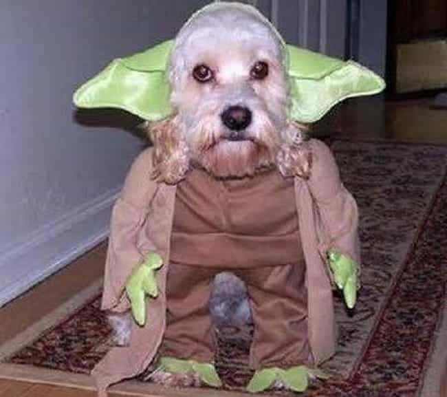 Do Or Do Not There Is No Try is listed (or ranked) 3 on the list 23 Animals Wearing Star Wars Costumes