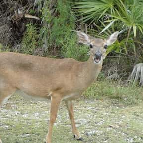 Key deer is listed (or ranked) 1 on the list Weird Laws in Florida