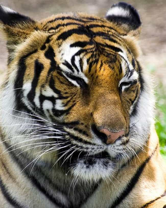 Siberian Tiger is listed (or ranked) 2 on the list The World's Most Beautiful Animals