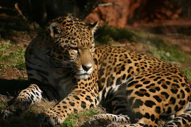Jaguar is listed (or ranked) 3 on the list The World's Most Beautiful Animals