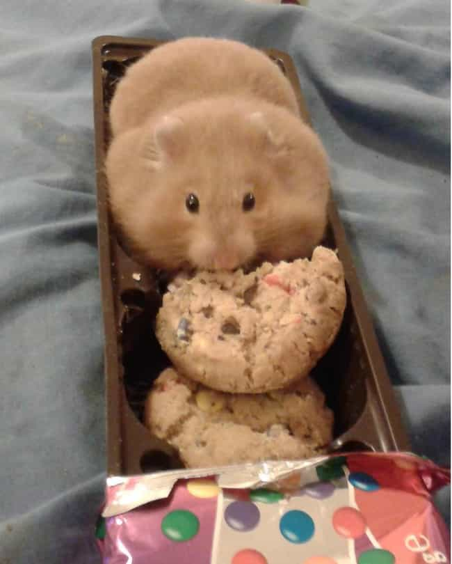 Cookie-Loving Hamster is listed (or ranked) 2 on the list The 50 Fattest Animals in Internet History