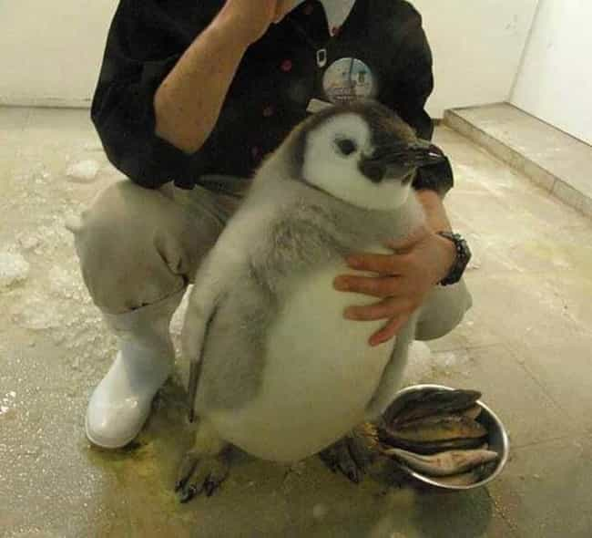 Plump Little Penguin is listed (or ranked) 1 on the list The 50 Fattest Animals in Internet History