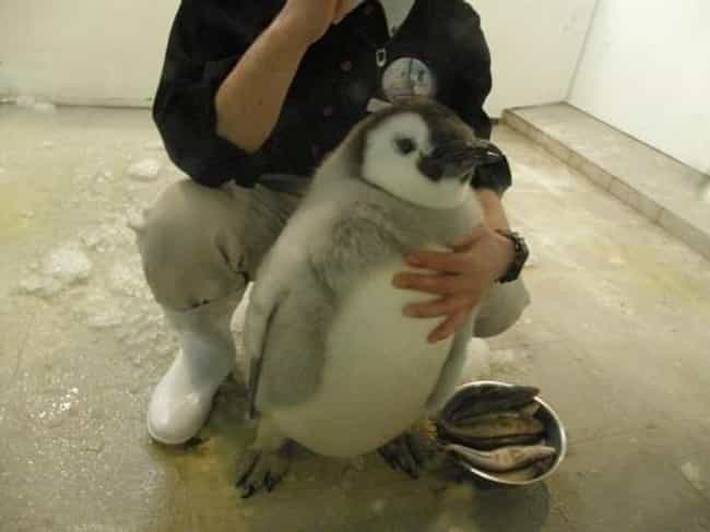 Fat Little Penguin is listed (or ranked) 1 on the list The 51 Fattest Animals in Internet History
