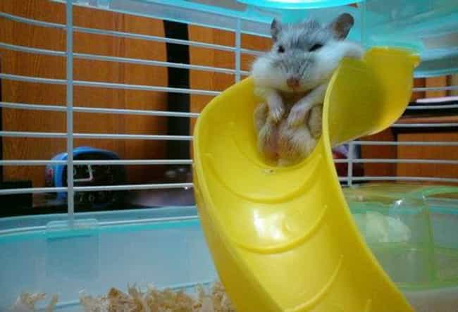 Fat Hamster On Slide is listed (or ranked) 3 on the list The 50 Fattest Animals in Internet History
