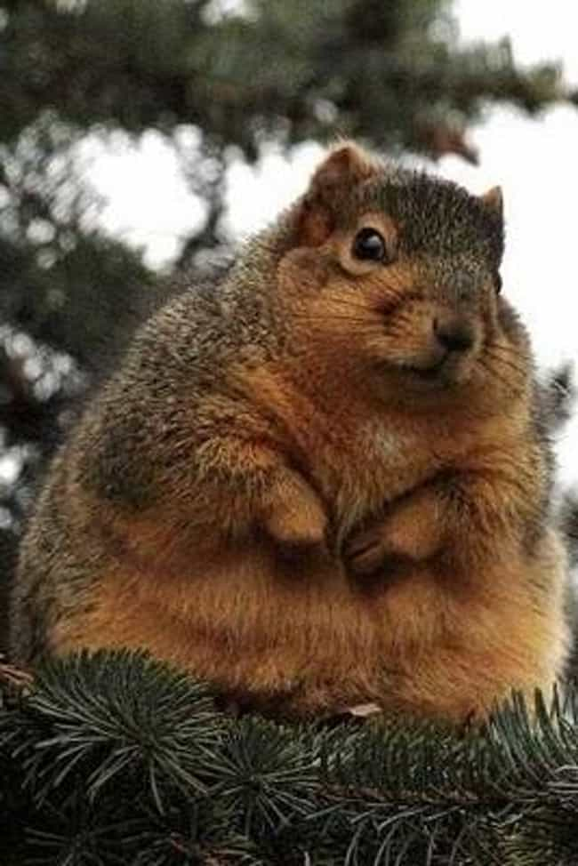 Big Squirrel is listed (or ranked) 4 on the list The 50 Fattest Animals in Internet History